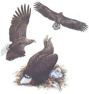 Рисунок с сайта Птицы Средней Сибири.
